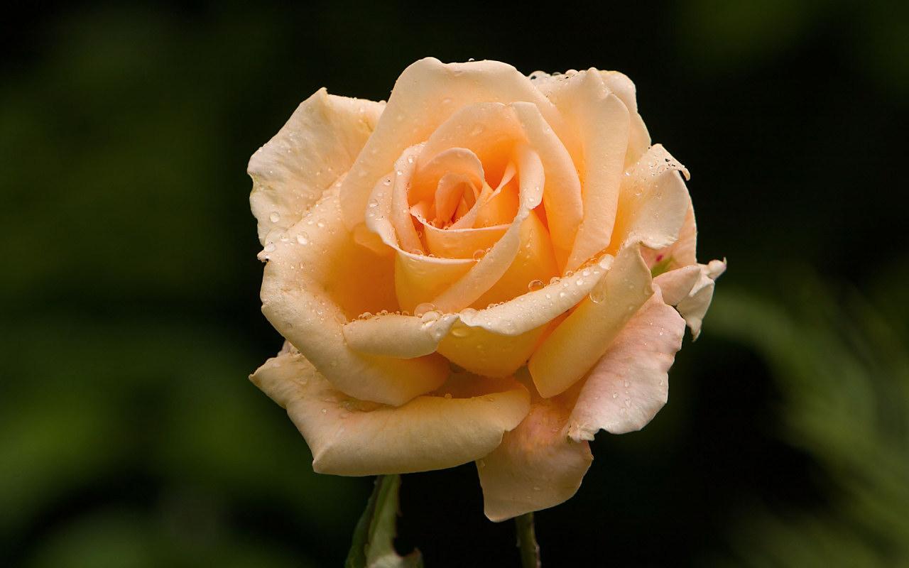 rosa-rosa-1280x800
